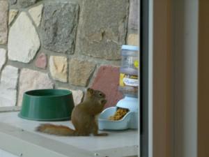 Aquirrel-stealing-our-cat-food--Yum-Yum