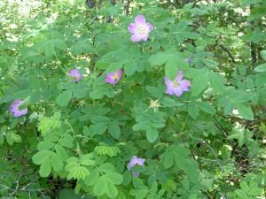 Wild-Alberta-Rose